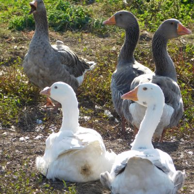 White and grey domesticated geese a the pond's edge