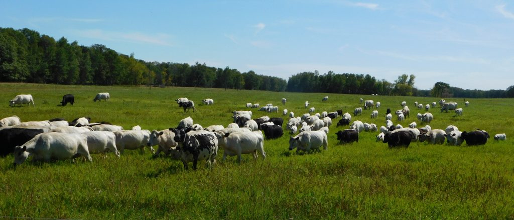 Cows enjoying fresh pasture under a blue sky