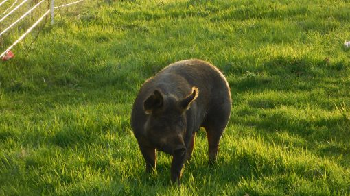 pastured hog