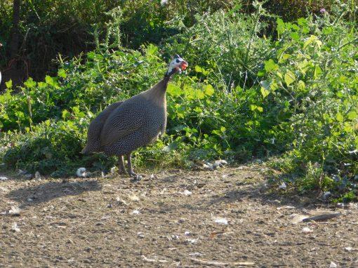 a pearl guinea foul walks near the tall grass