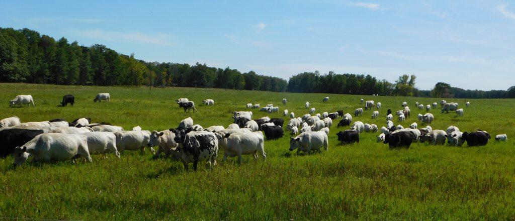 Cows enjoying fresh pasture under a blue sky